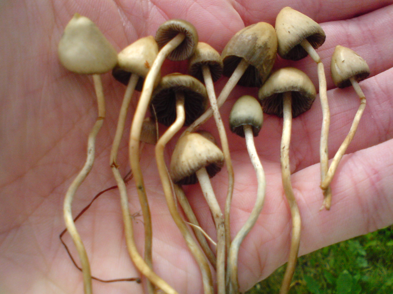 effects of psilocybin psilocin mushrooms on the Effects on the body psilocybin and psilocin are absorbed by the mucous membranes of the mouth and the stomach the effects are noticeable within 15 to 60 minutes and last between 2 and 8 hours the duration depends on the type of truffles or magic mushrooms you are taking, the quantity you have taken and your metabolism.